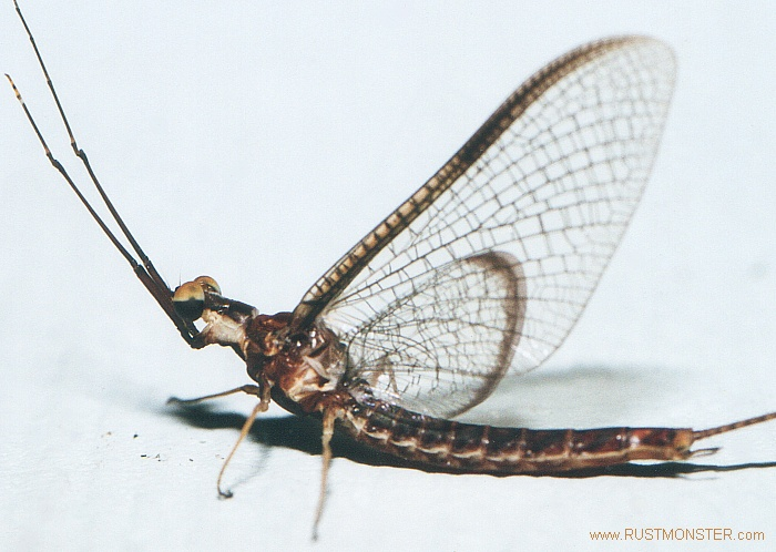 Mayflies!| Off-Topic Discussion forum